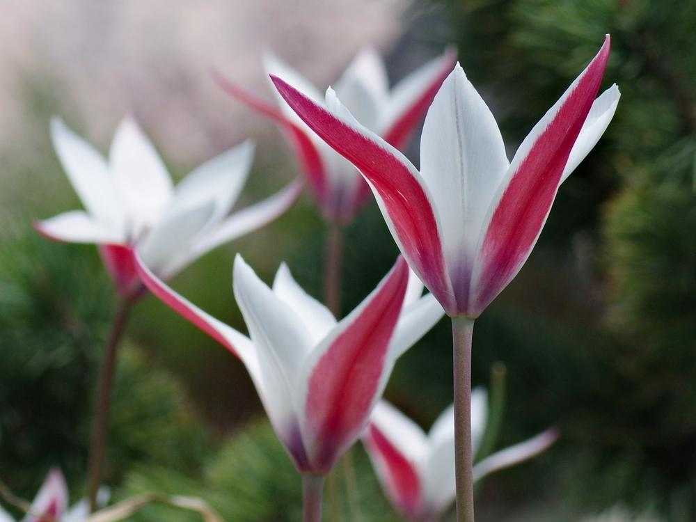 Photo of Lady Tulip (Tulipa clusiana) uploaded by dirtdorphins