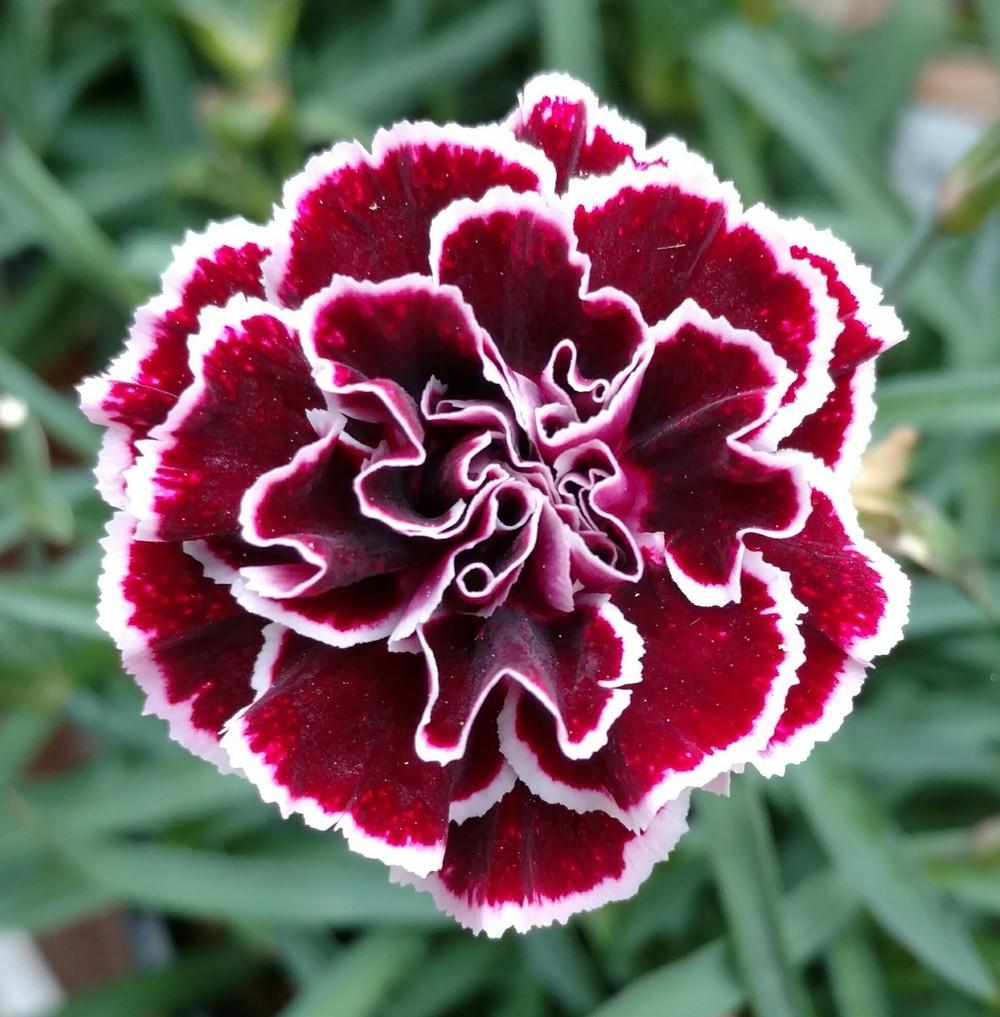 Dianthus: Plant Care And Collection Of Varieties