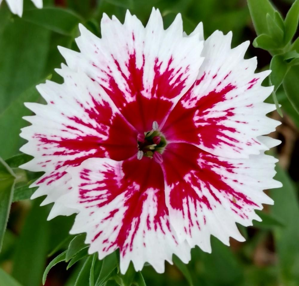 Dianthus plant care and collection of varieties garden add or edit informational text about this plant mightylinksfo Choice Image