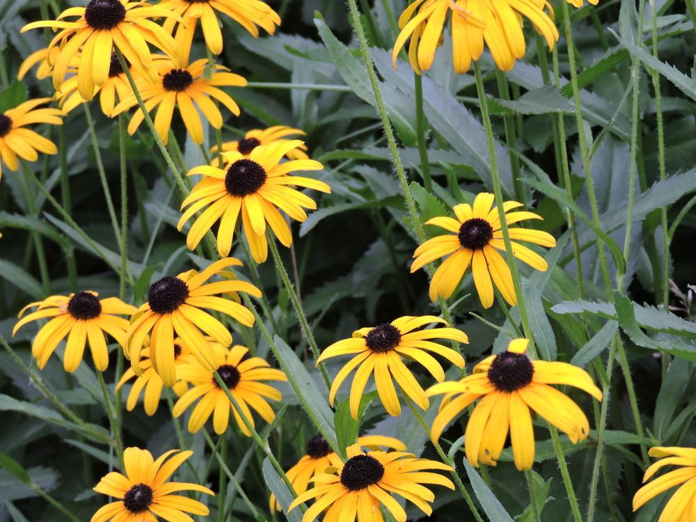 Photo of Black Eyed Susans (Rudbeckia) uploaded by paulaf