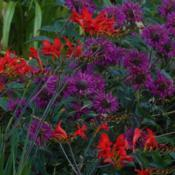 Location: My 6b gardenDate: 2016-06-26Purple Rooster with Crocosmia.