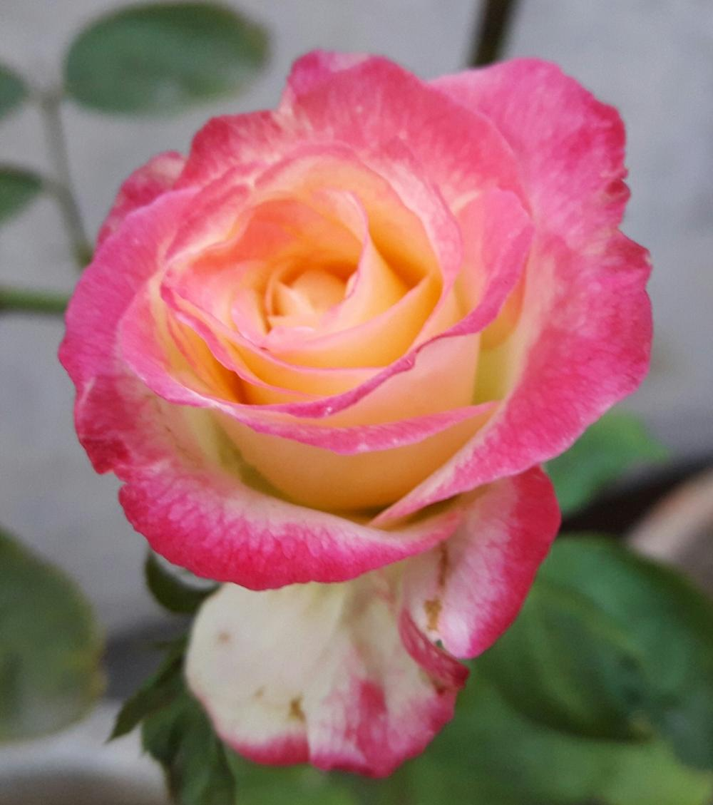 Photo of Rose (Rosa 'Double Delight') uploaded by ANWARJAMAL