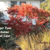 Location: Lenora, KansasDate: 2013-10-24Tiger Eye Sumac - Fall Color