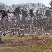Location: Red Apple Farm, Phillipston, MADate: 2017-01-23Red Gravenstein Apple Trees in Winter at the Red Apple Farm