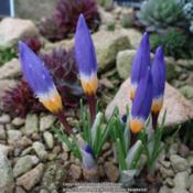 Location: RHS Harlow Carr alpine house, YorkshireDate: 2017-02-16