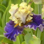Location: Keith Keppel Iris Garden, Salem, OregonDate: 2015-05-19AIS National Convention, Portland, OR--Iris in Wonderla