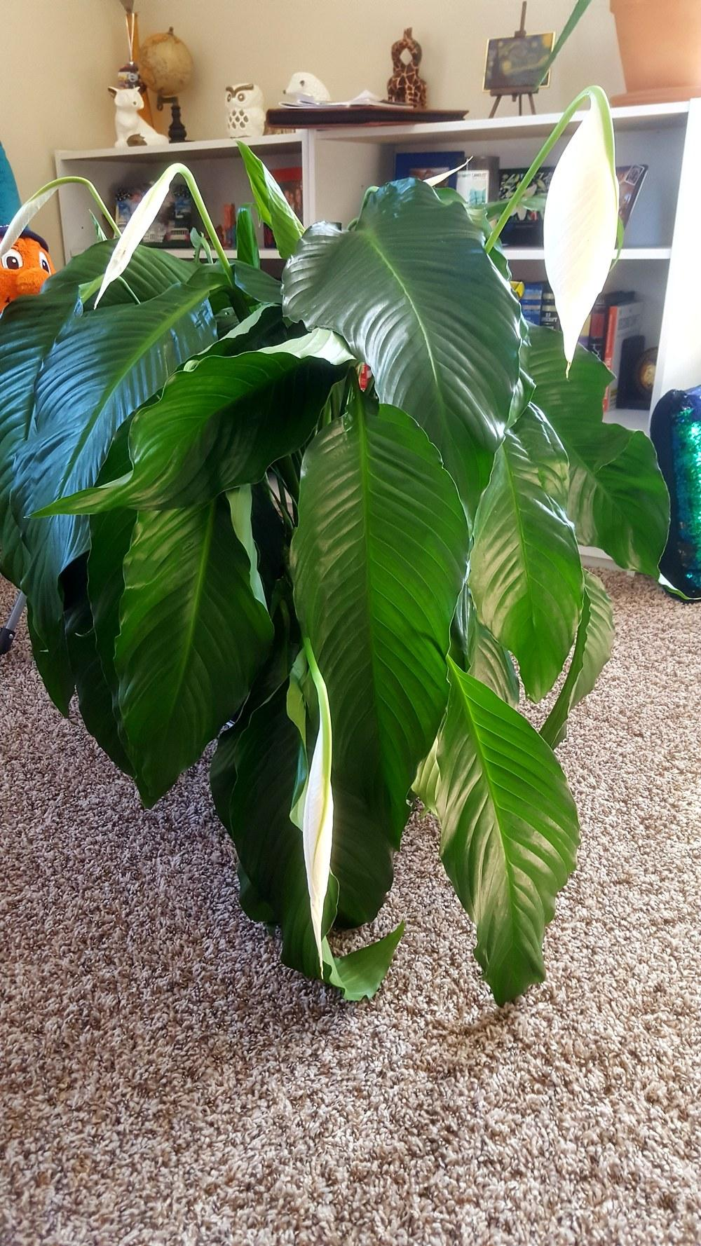 Ask a question forum peace lily help garden thumb of 2017 02 19nygardener2017f330c9 izmirmasajfo