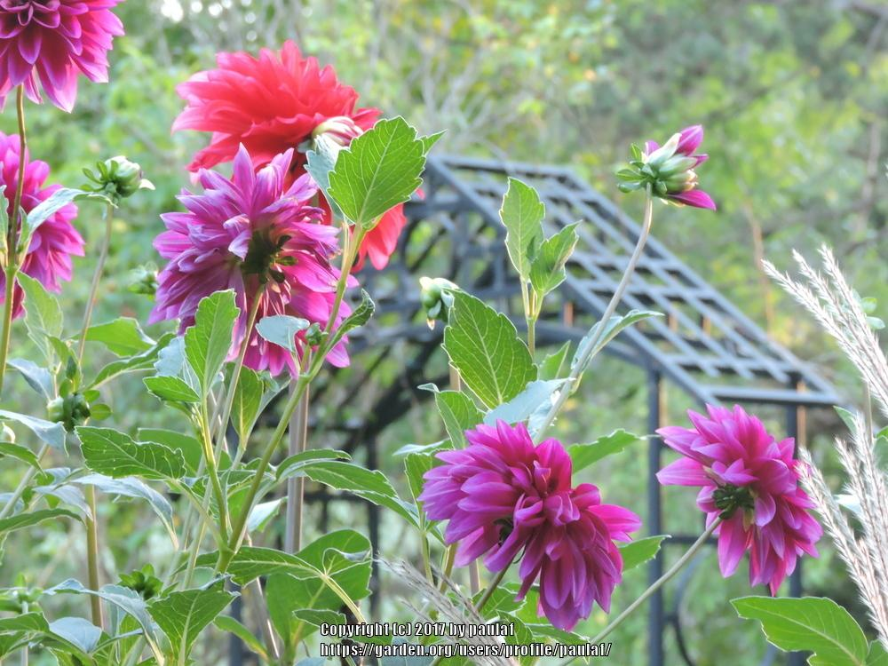 Photo of Dahlias (Dahlia) uploaded by paulaf
