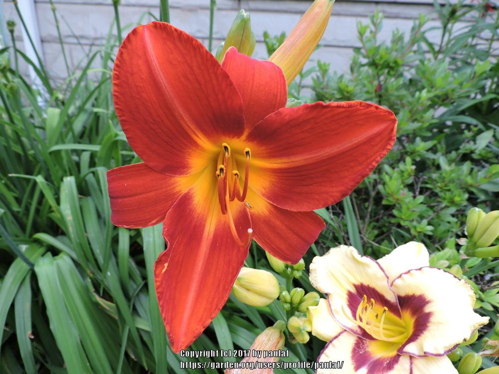 Photo of Daylilies (Hemerocallis) uploaded by paulaf