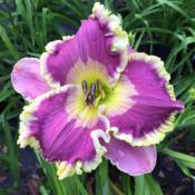 Location: Dallas, TXMost vibrant, beautiful daylily I've ever seen.  This i
