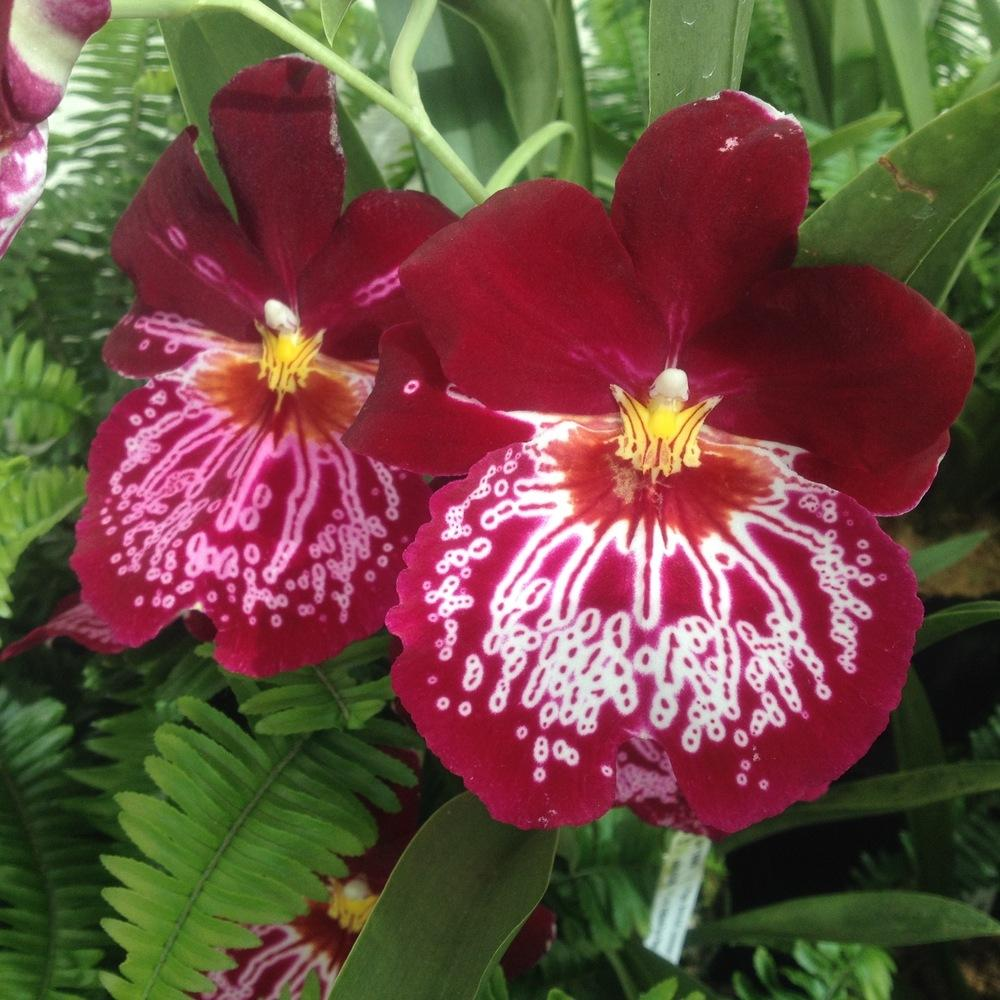 Photo of Orchid (Miltoniopsis Edie Brown) uploaded by csandt