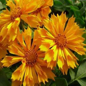 Photo of Tickseed (Coreopsis 'Jethro Tull') uploaded by Lalambchop1