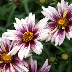 Photo of Tickseed (Coreopsis Li'l Bang™ Starlight) uploaded by Lalambchop1