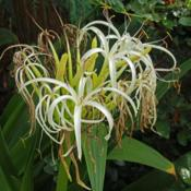 Photo of Crinum (Crinum asiaticum var. japonicum)