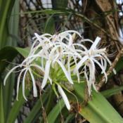 Photo of Crinum (Crinum asiaticum var. pedunculatum)