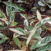 Photo of Never-Never Plant (Ctenanthe oppenheimiana 'Tricolor')
