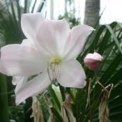 Photo of Crinum (Crinum x powellii 'Krelagei')