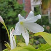 Photo of Natal Lily (Crinum moorei)
