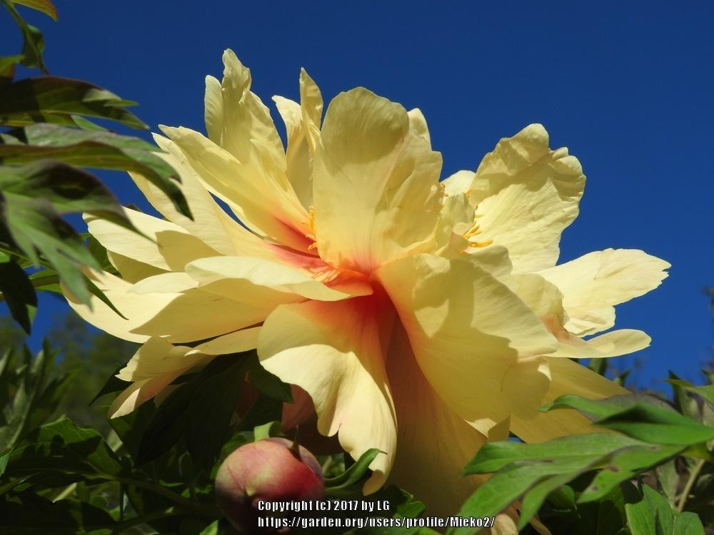 Peonies Forum Yellow Peonies You Currently Are Growing Post Your