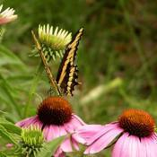 Location: my flower gardenDate: summer 2016 butterfly on cone flower