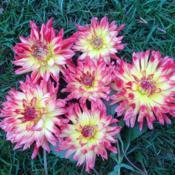 Location: My garden in Warrenville, SCDate: 2015-10-02cut blooms to be taken inside