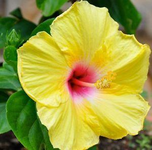 Photo of Tropical Hibiscus (Hibiscus rosa-sinensis 'Sunshine Yellow') uploaded by Mickeyde