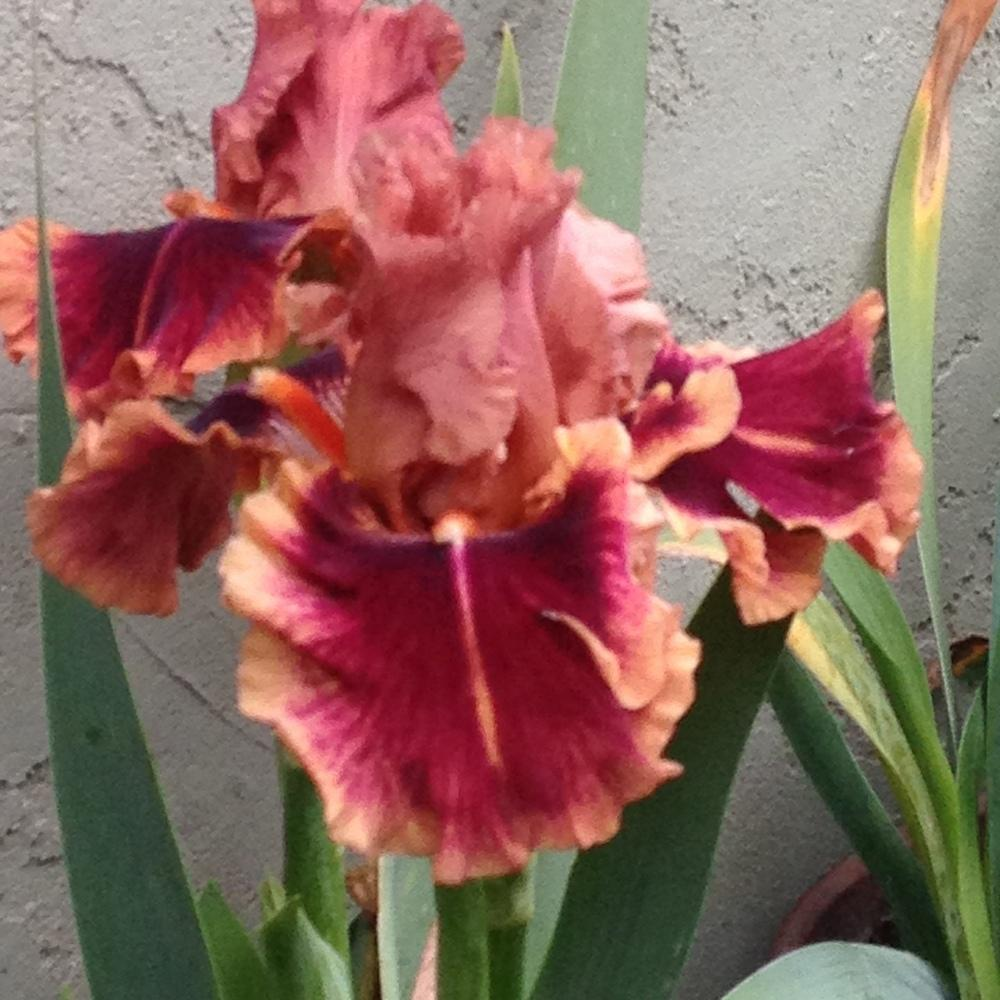 Photo of Tall Bearded Iris (Iris 'Drinks at Sunset') uploaded by lilpod13