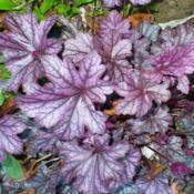 Location: Nora's Garden - Castlegar, B.C.Date: 2014-05-14 6:53 pm. Rich colouration: Rose-Purple, Silver, and Bl