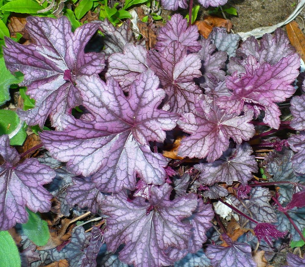 Photo of Coral Bells (Heuchera Dolce® Blackcurrant) uploaded by HemNorth