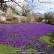 Location: Wallington Hall National Trust garden, NorthumberlandDate: 2017-03-07En masse in the walled garden
