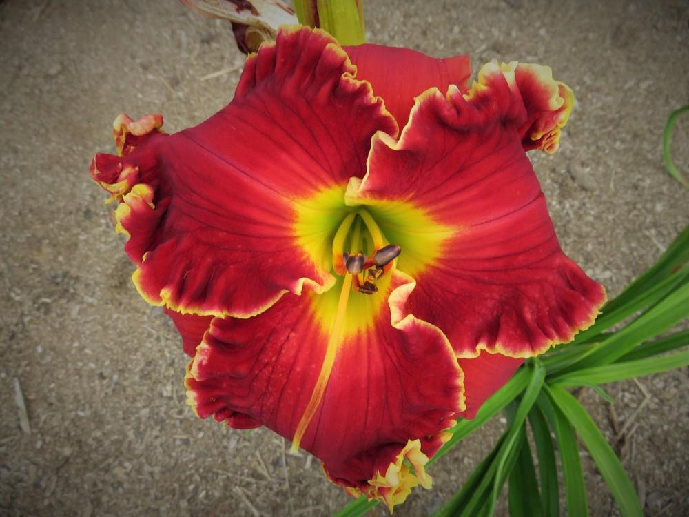 Photo of Daylily (Hemerocallis 'Shakespeare's Red') uploaded by 1953dennis