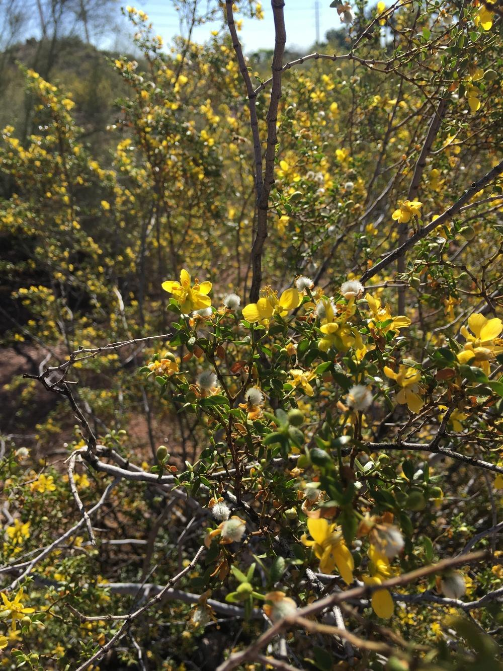 Photo of Creosote Bush (Larrea tridentata) uploaded by Anderwood