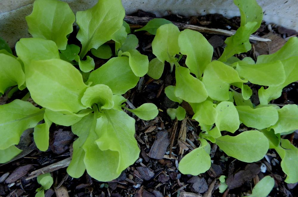 Photo of Lettuce (Lactuca sativa 'Black-Seeded Simpson') uploaded by wildflowers