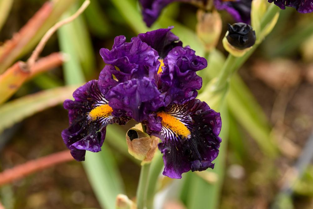 irises plant care and collection of varieties  garden, Beautiful flower