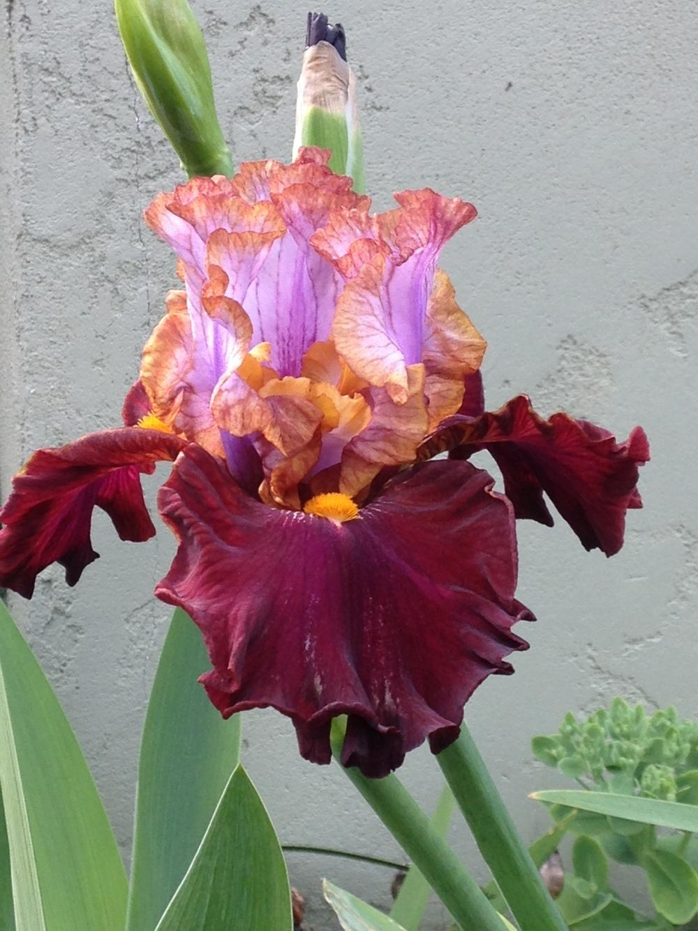 Photo of Tall Bearded Iris (Iris 'Plot Line') uploaded by lilpod13