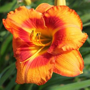Photo of Daylily (Hemerocallis 'Hear the Lion Roar') uploaded by Calif_Sue