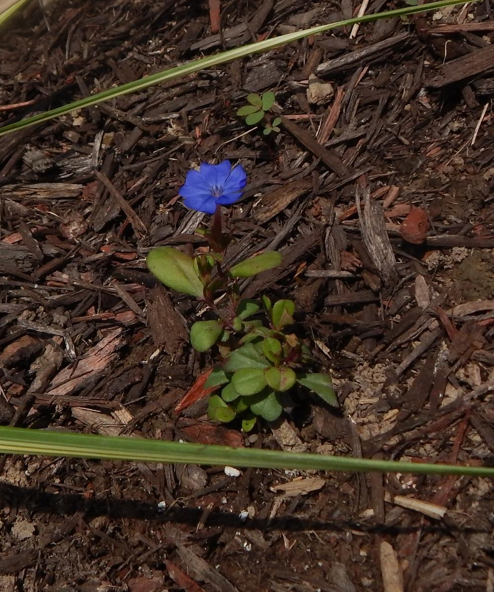 Photo of the seedling or young plant of Hardy Blue Plumbago ...
