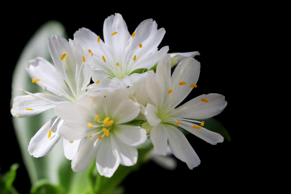 Photo of Lewisia (Lewisia cotyledon 'White Cloud') uploaded by GrammaChar