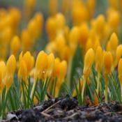 Location: My garden, Skåne, SwedenDate: March 2017