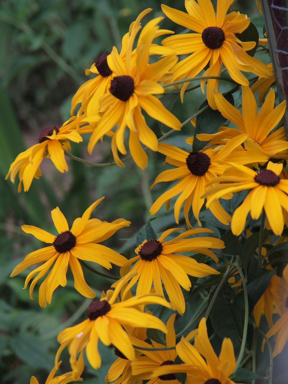 Photo of Black Eyed Susans (Rudbeckia) uploaded by robertduval14