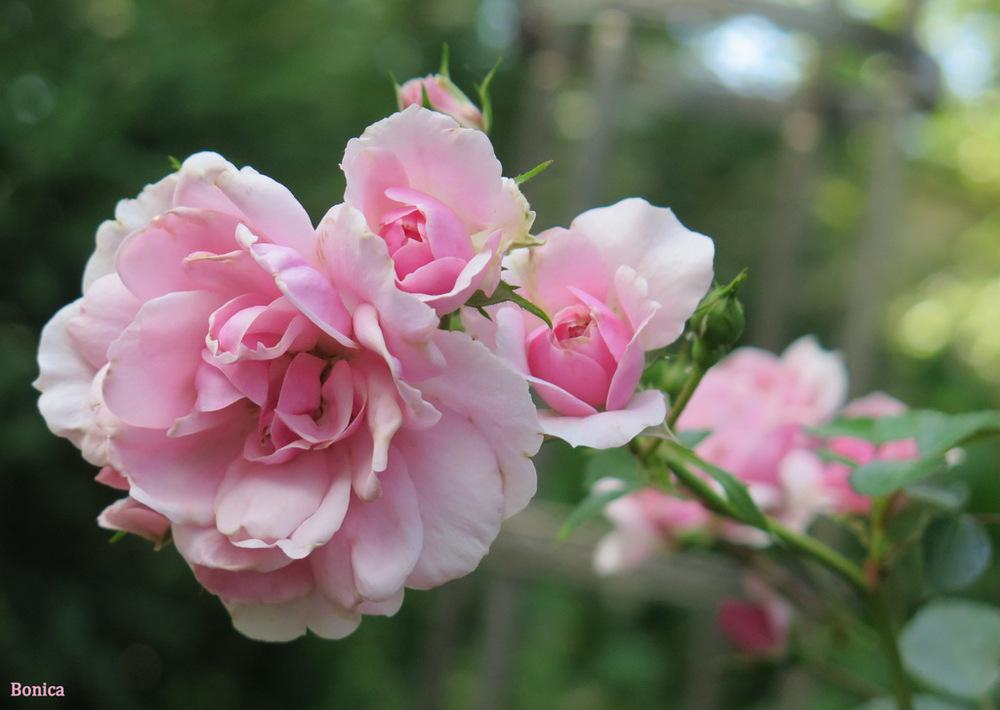 Photo of Rose (Rosa 'Bonica') uploaded by MargieNY