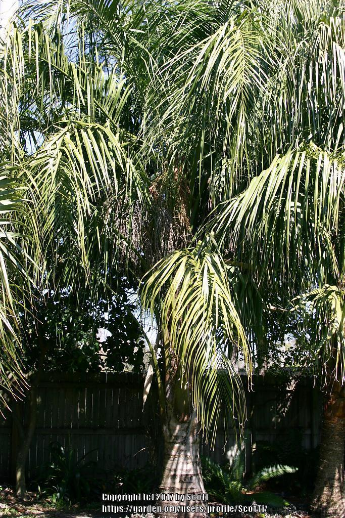 Photo of Mule Palm (XButiagrus nabonnandii) uploaded by ScotTi
