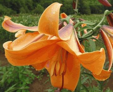 Photo of Lily (Lilium 'African Queen') uploaded by Cinta