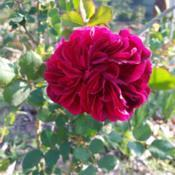 Location: texas zn.7Date: March,2017My 1st Rose of the season & what a special treat!  Colo