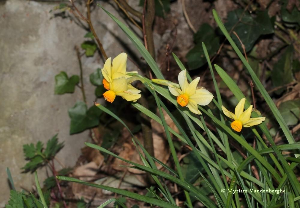 Photo of Cyclamineus Daffodil (Narcissus 'Beryl') uploaded by bonitin