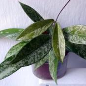Location: From my collection. Poland.Hoya pubicalyx 'Silver Splash'