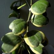Location: From my collection. Poland.Hoya kerrii albomarginata.