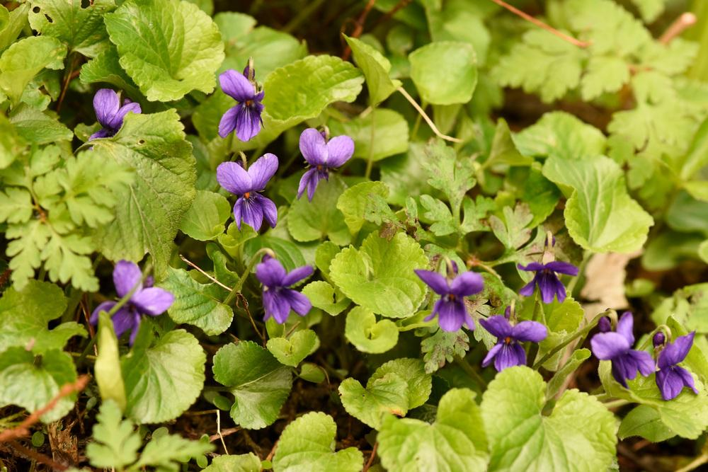 Photo of Sweet Violet (Viola odorata) uploaded by cliftoncat