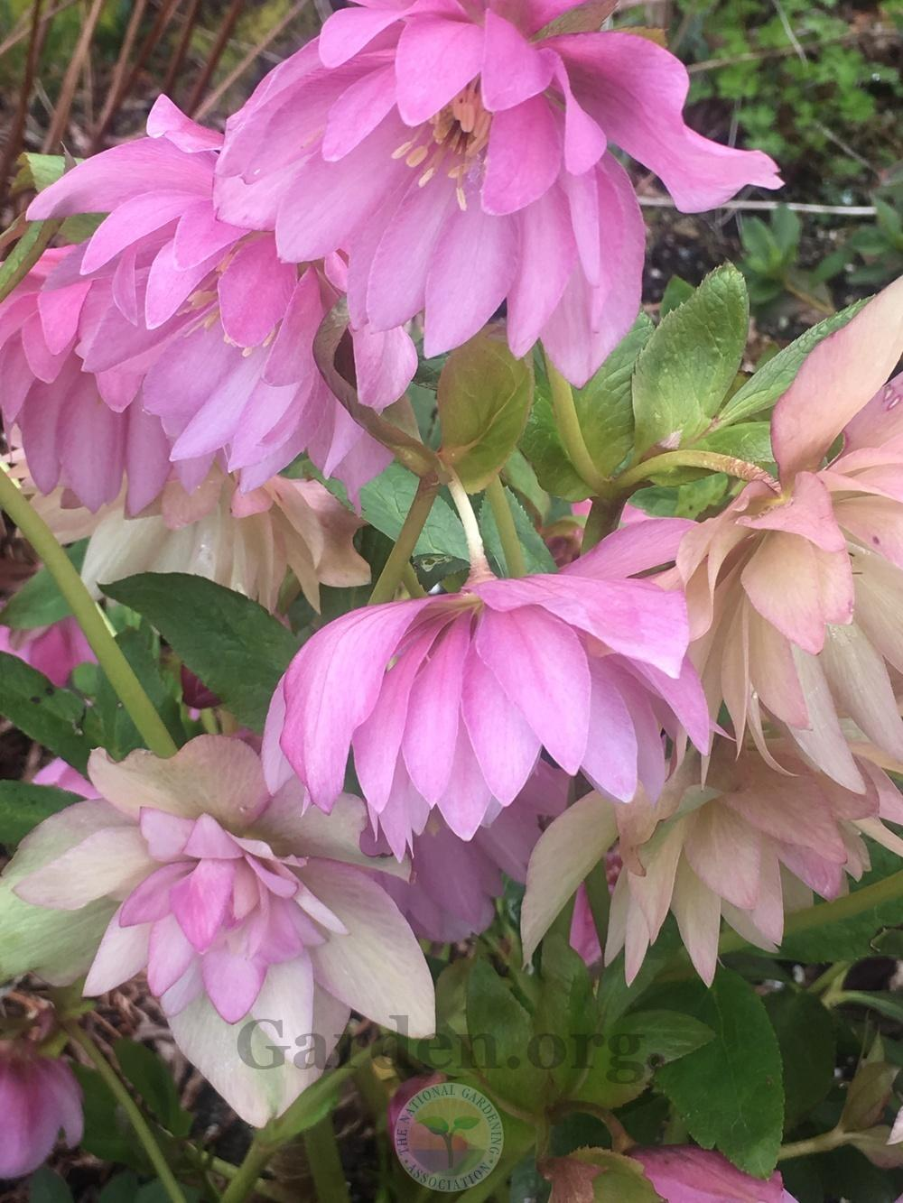 Photo of Hellebore (Helleborus Winter Jewels™ Cotton Candy) uploaded by springcolor