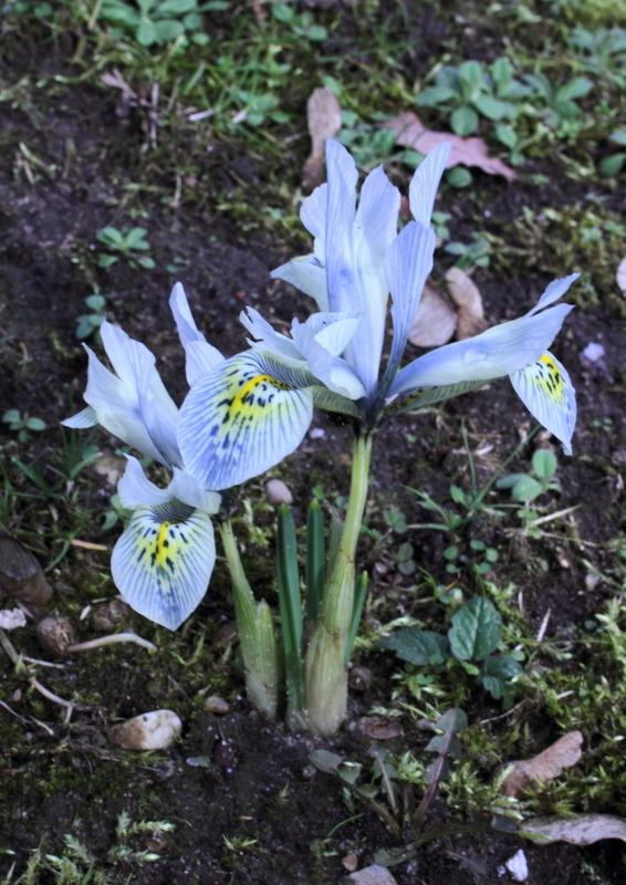 Photo of Reticulated Iris (Iris 'Katharine Hodgkin') uploaded by RuuddeBlock